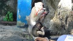 ミャンマー、パ・アン、hpa an bayin nyi cave、バインニー洞窟。ミャンマーの猿はとてもおとないです。