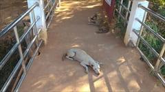 ミャンマーには、野良犬がたくさんいますが、襲ってくることはないですし、とてもおとなしいです。